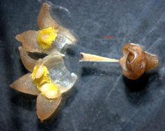 Image of <i>Margaritopsis chaenotricha</i> (DC.) C. M. Taylor