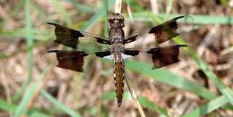 Image of <i>Libellula lydia</i>