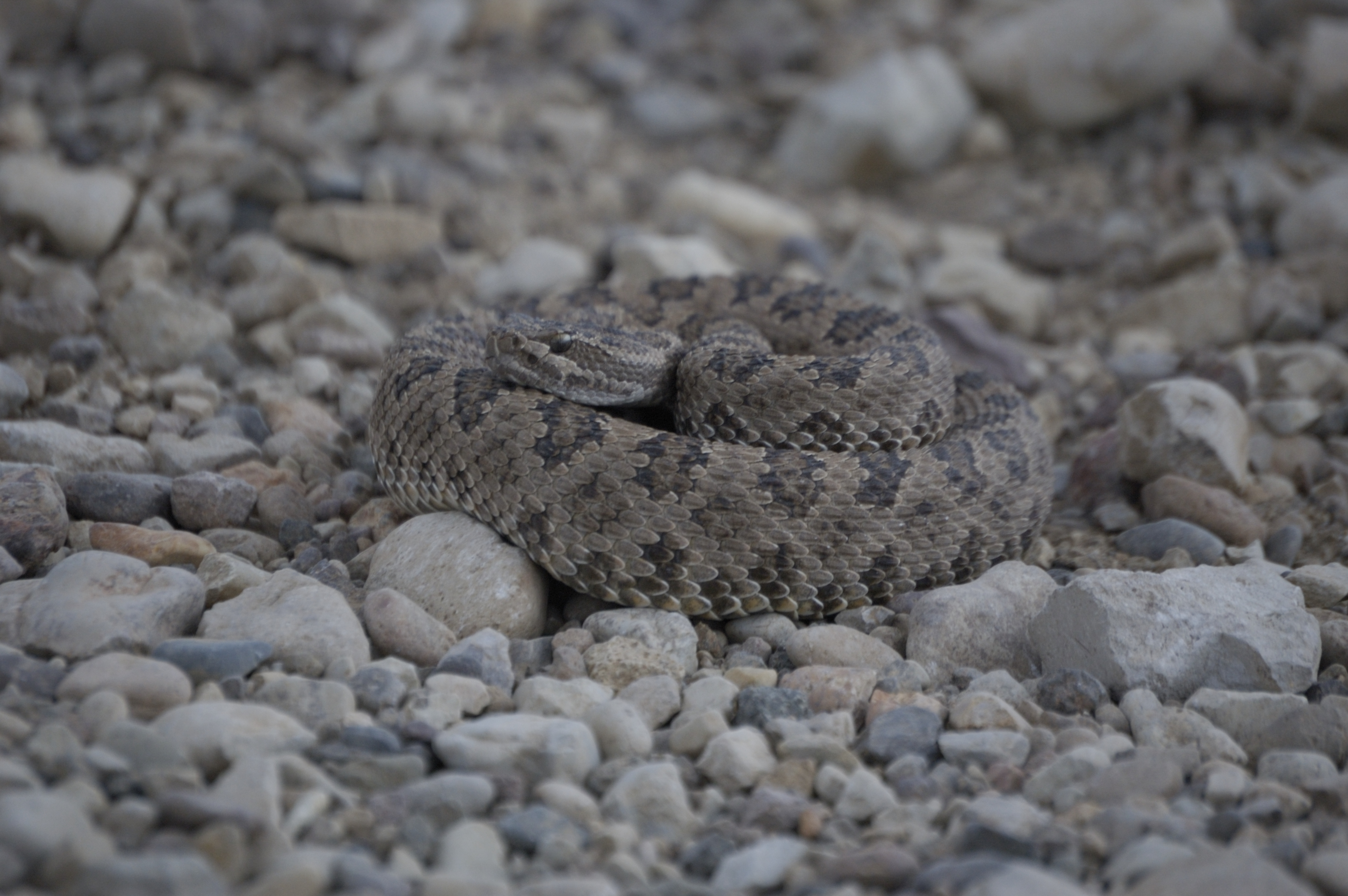 Image of northern pacific rattlesnake