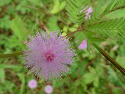 Image of Sensitive Plant