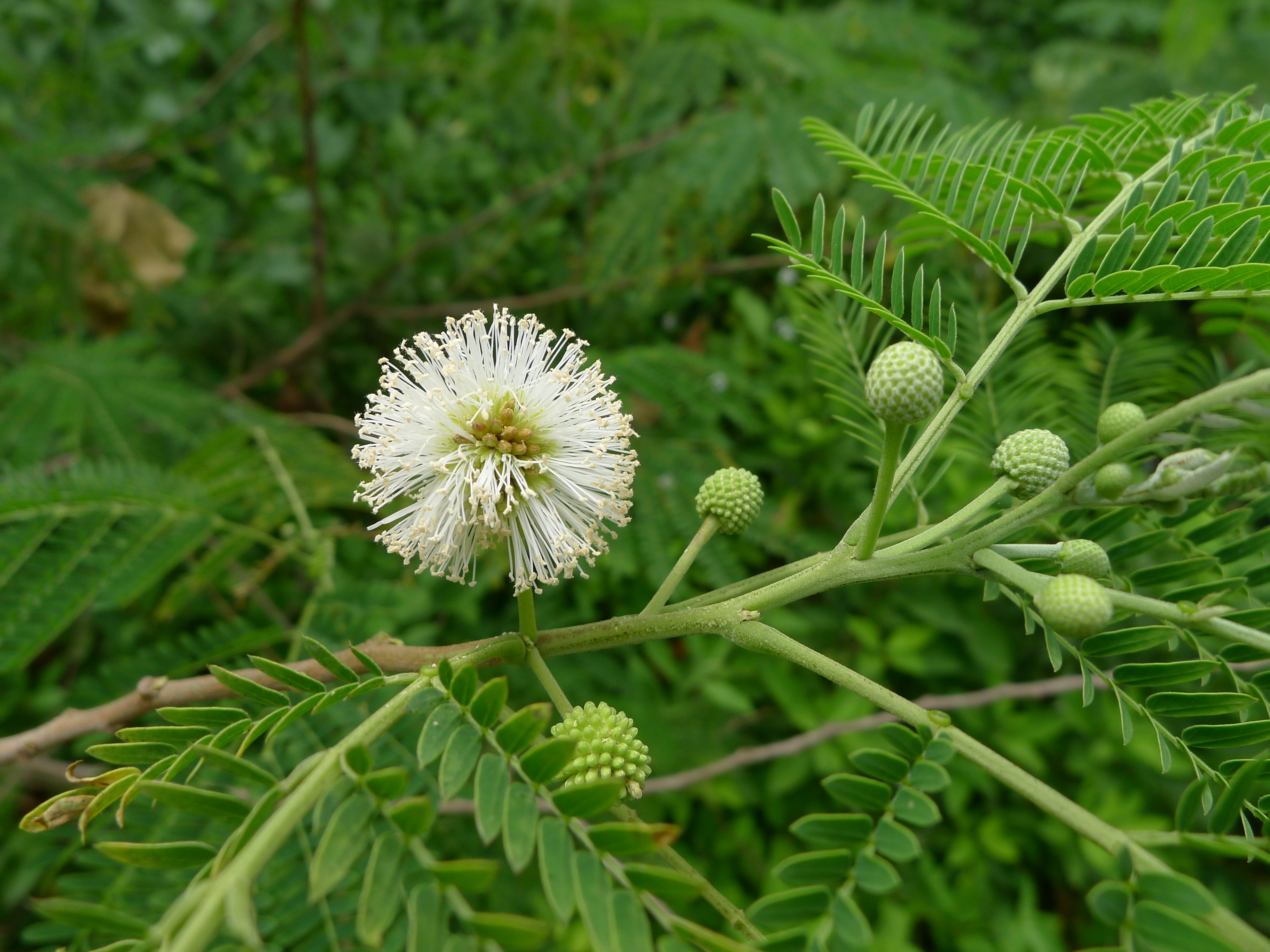 Image of white leadtree