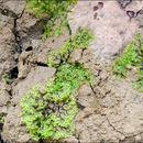 Image of <i>Pellia endiviifolia</i> (Dicks.) Dumort.