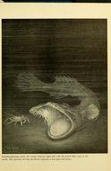 Image of <i>Thaumatichthys axeli</i> (Bruun 1953)