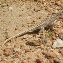Image of Spotted Sand Lizard