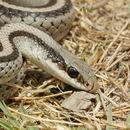 Image of Mountain Patchnose Snake