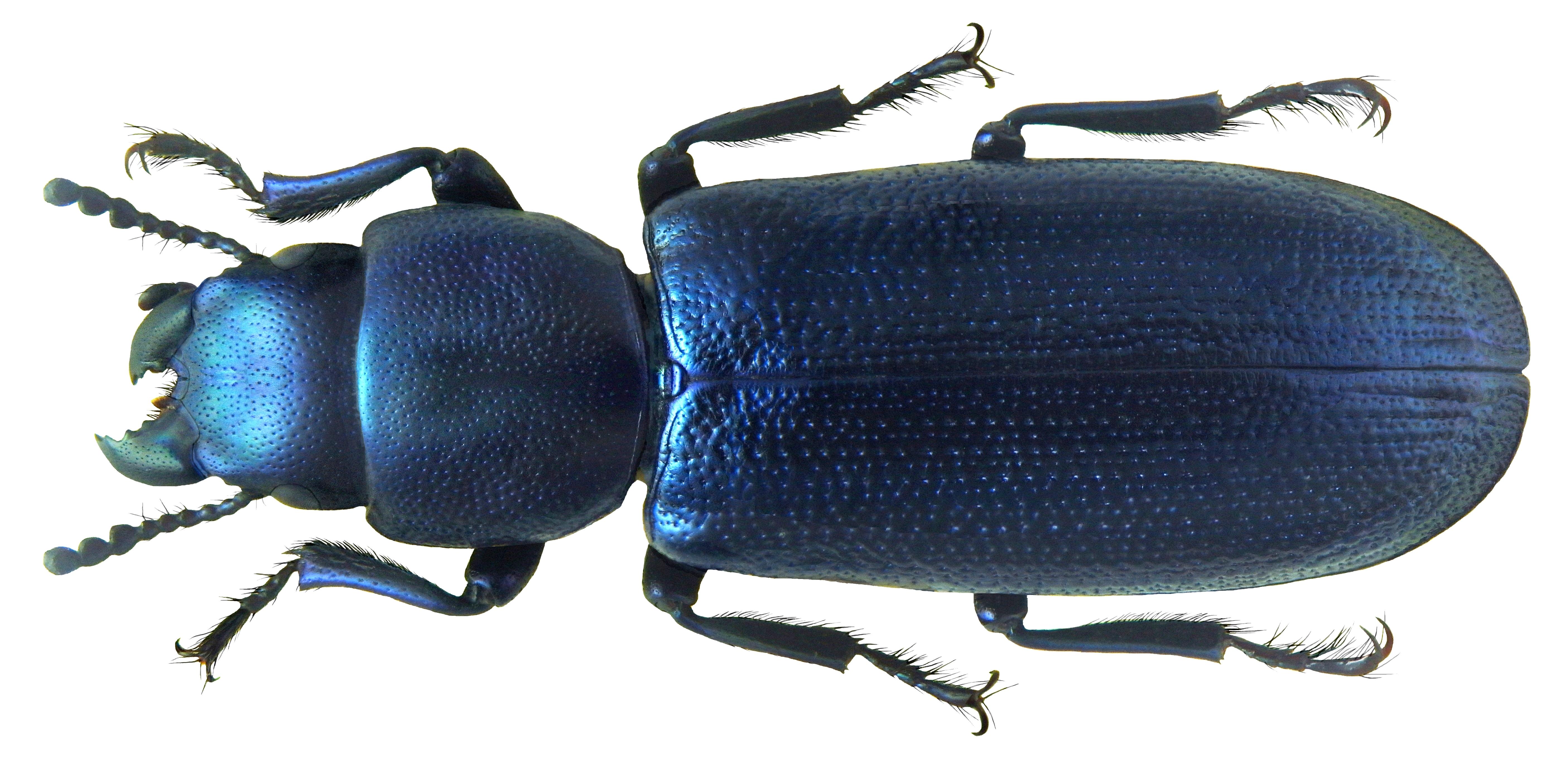 Image of <i>Temnochila pini</i>