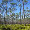 Image of Slash Pine