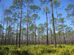 Image of <i>Pinus elliottii</i> Engelm.