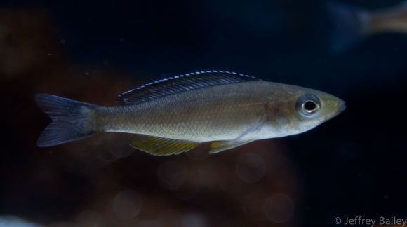 Image of Cyprichromis