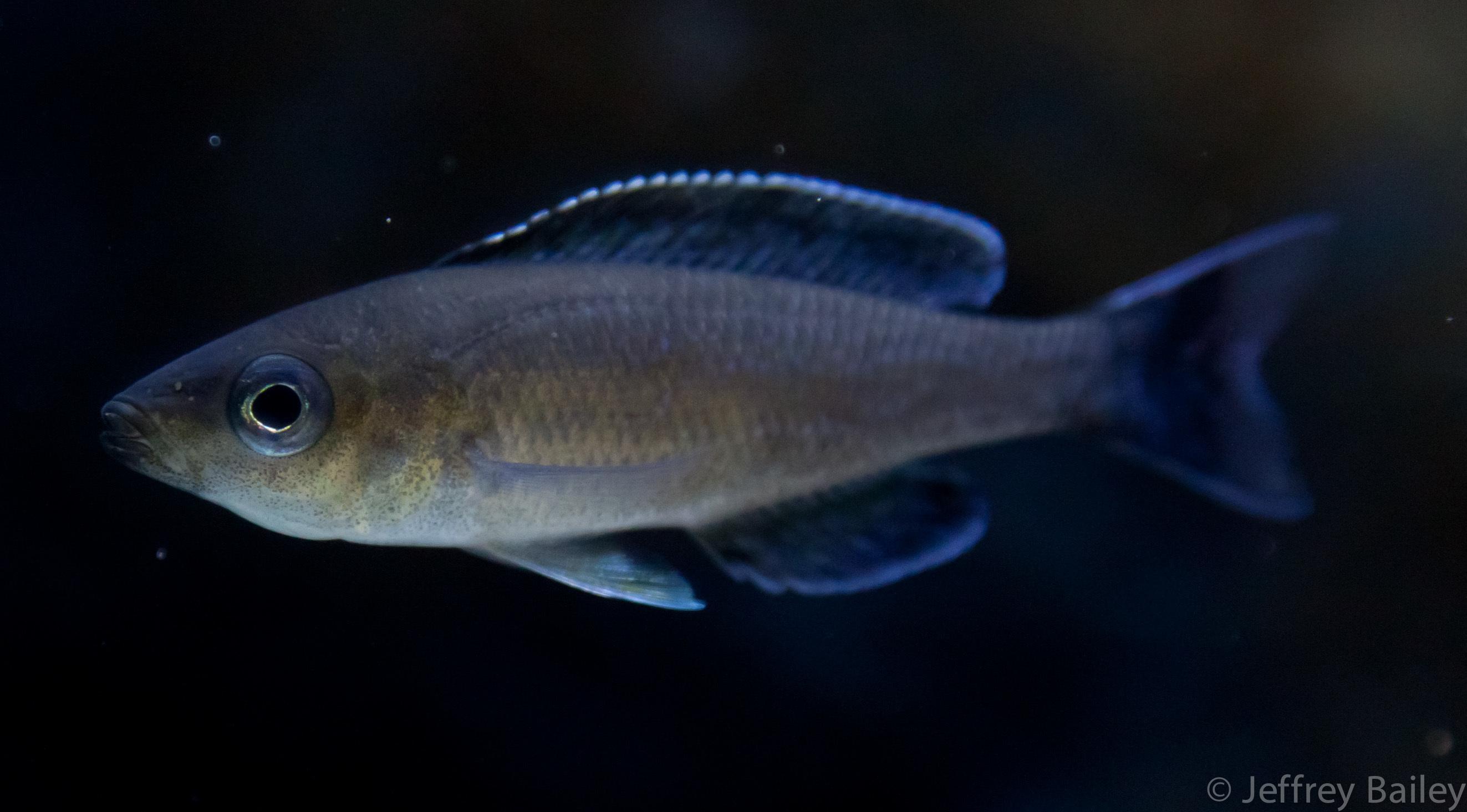 Image of Cyprichromis
