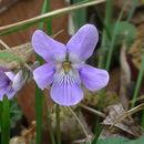Image of <i>Viola grypoceras</i> A. Gray