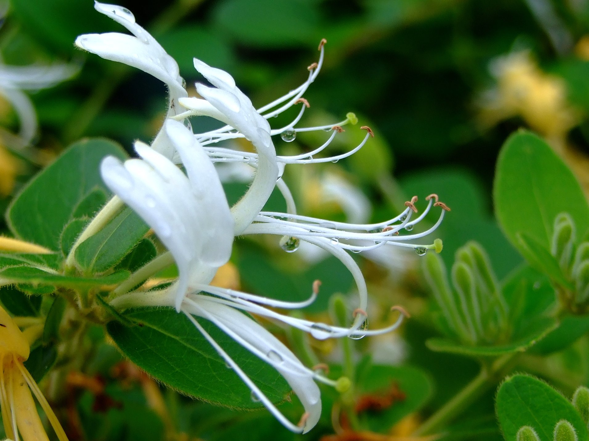 Image of Japanese honeysuckle