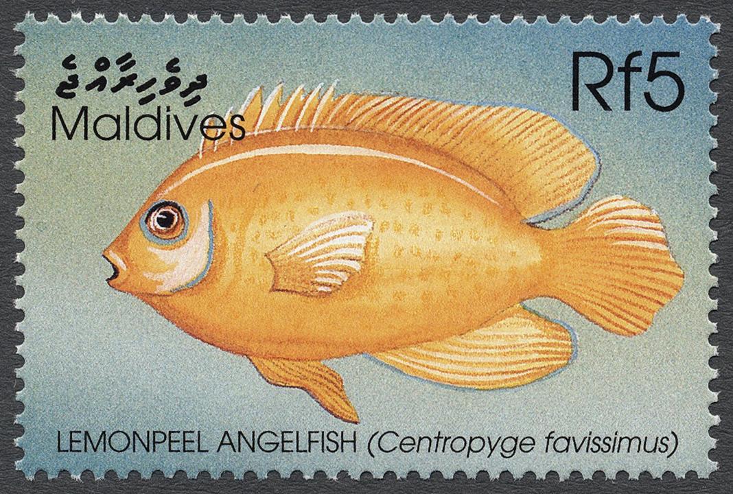 Image of <i>Centropyge flavissimus</i>