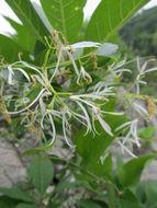 Image of white fringetree