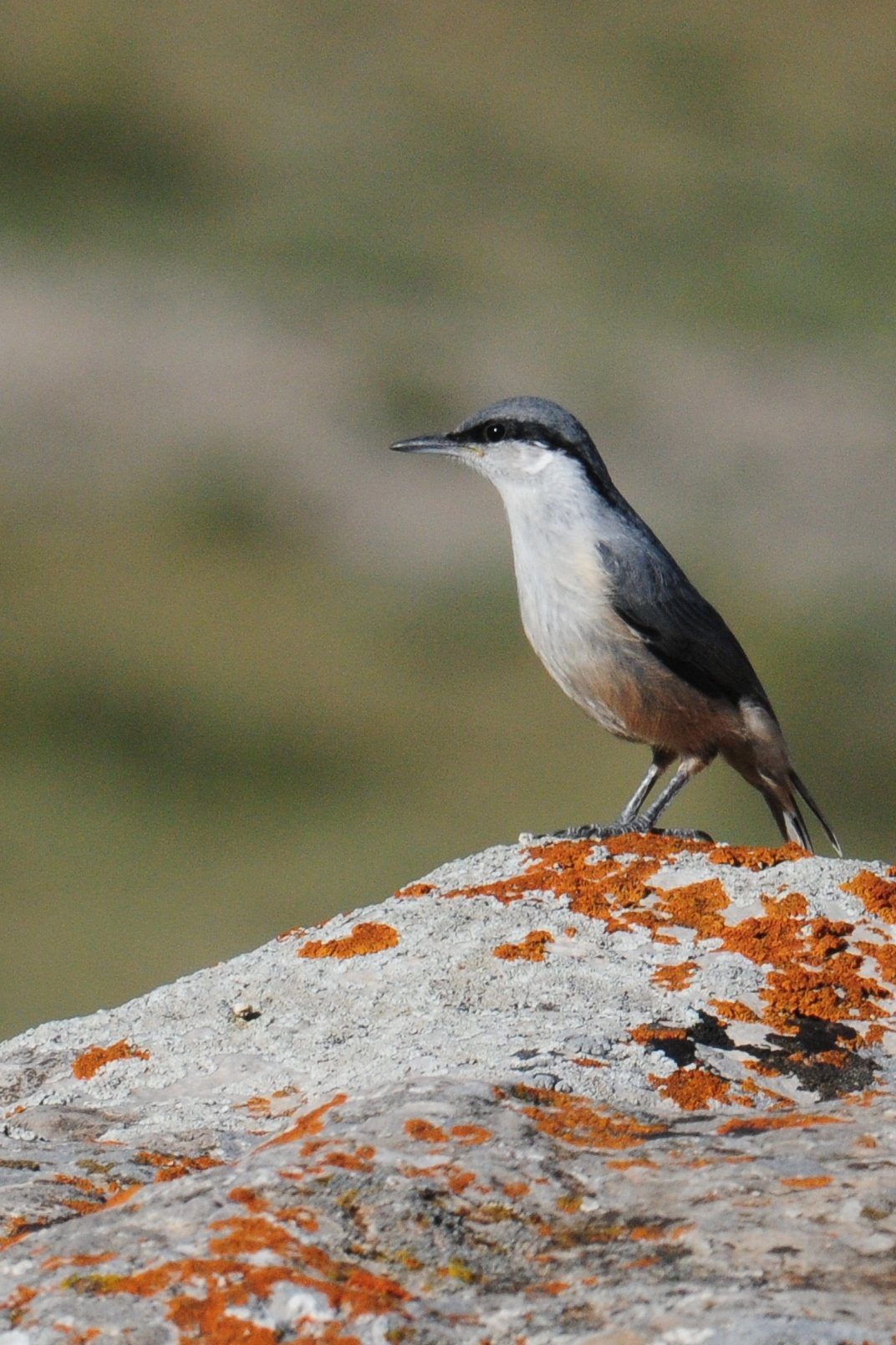 Image of Western Rock Nuthatch