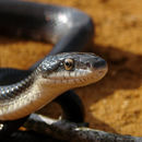 Image of Black rat snake