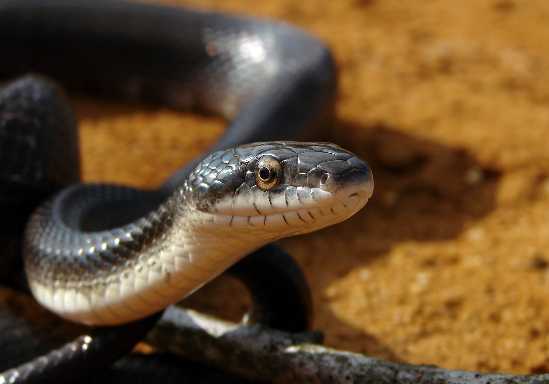Image of Black rat snake