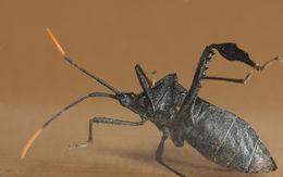 Image of Florida leaf-footed bug