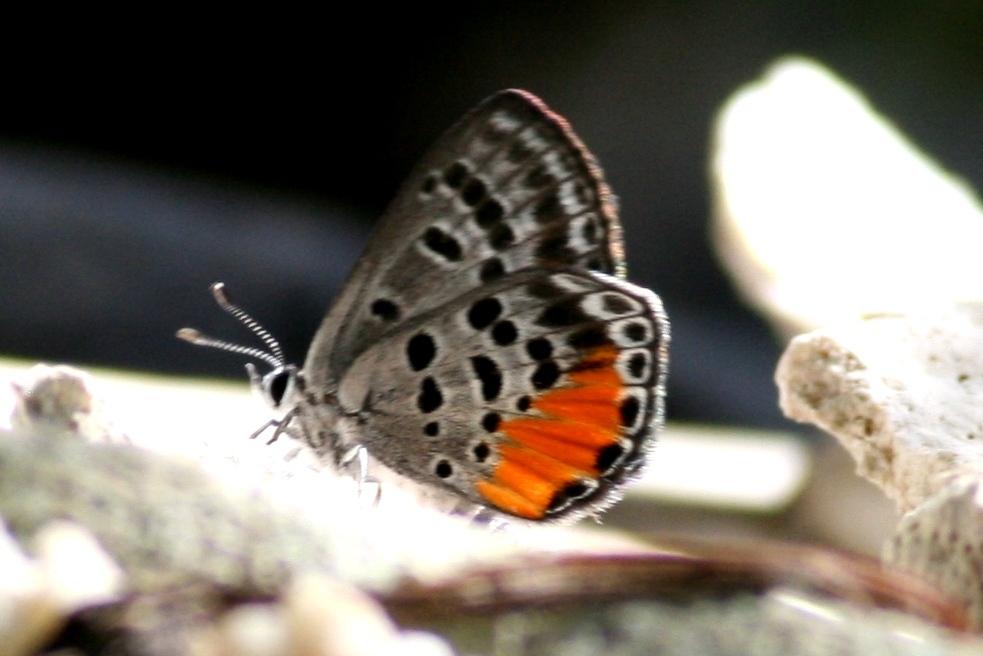 Image of <i>Luthrodes cleotas excellens</i>