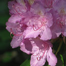 Image of catawba rhododendron
