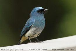 Image of Indigo Flycatcher