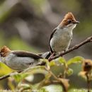 Image of Chestnut-crested Yuhina