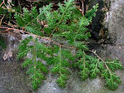 Image of Willdenow's spikemoss