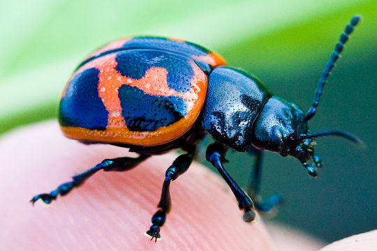 Image of Swamp Milkweed Leaf Beetle
