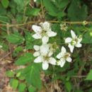 صورة <i>Rubus inclinis</i> L. H. Bailey