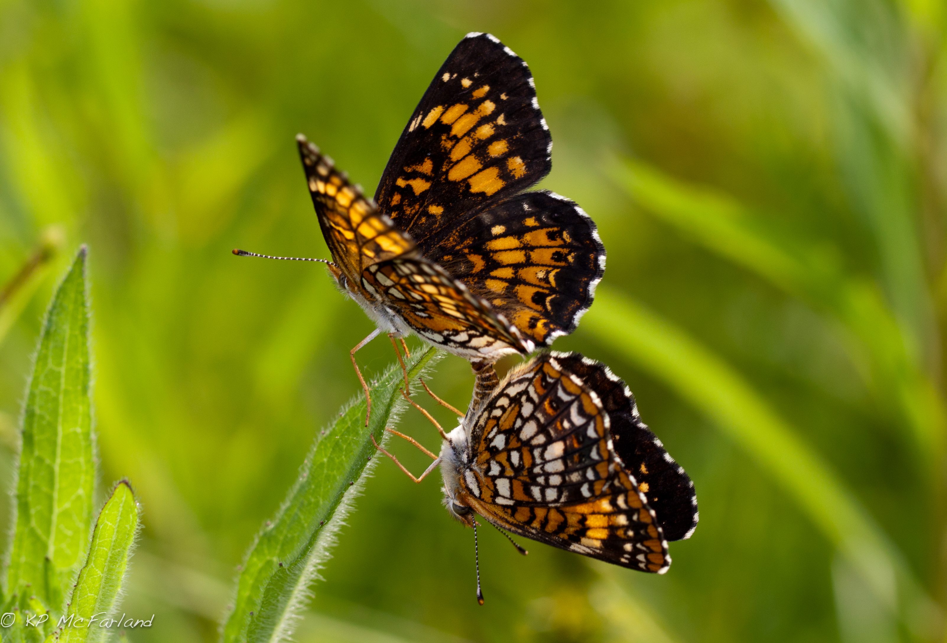 Image of Harris's Checkerspot