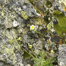 Image of <i>Saxifraga intricata</i> Lapeyr.