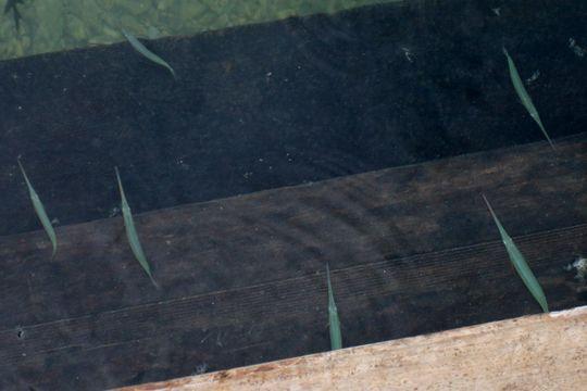 Image of Reef needlefish