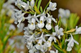 Image of <i>Hybanthus floribundus</i>