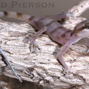 Image of Gallagher's Gecko