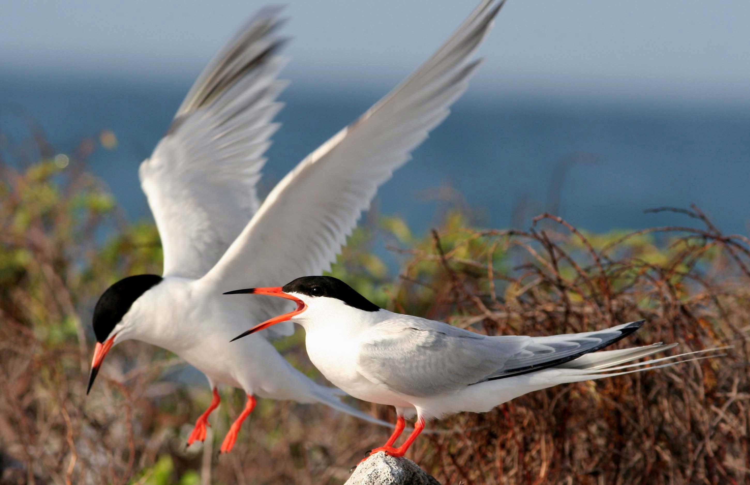 Image of Roseate tern
