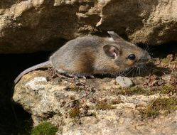 Image of Long-tailed Field Mouse