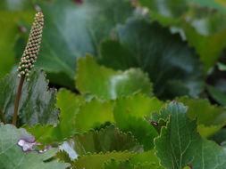 Image of beetleweed