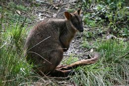 Image of swamp wallaby