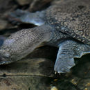Image of Malayan Soft-shelled Turtle