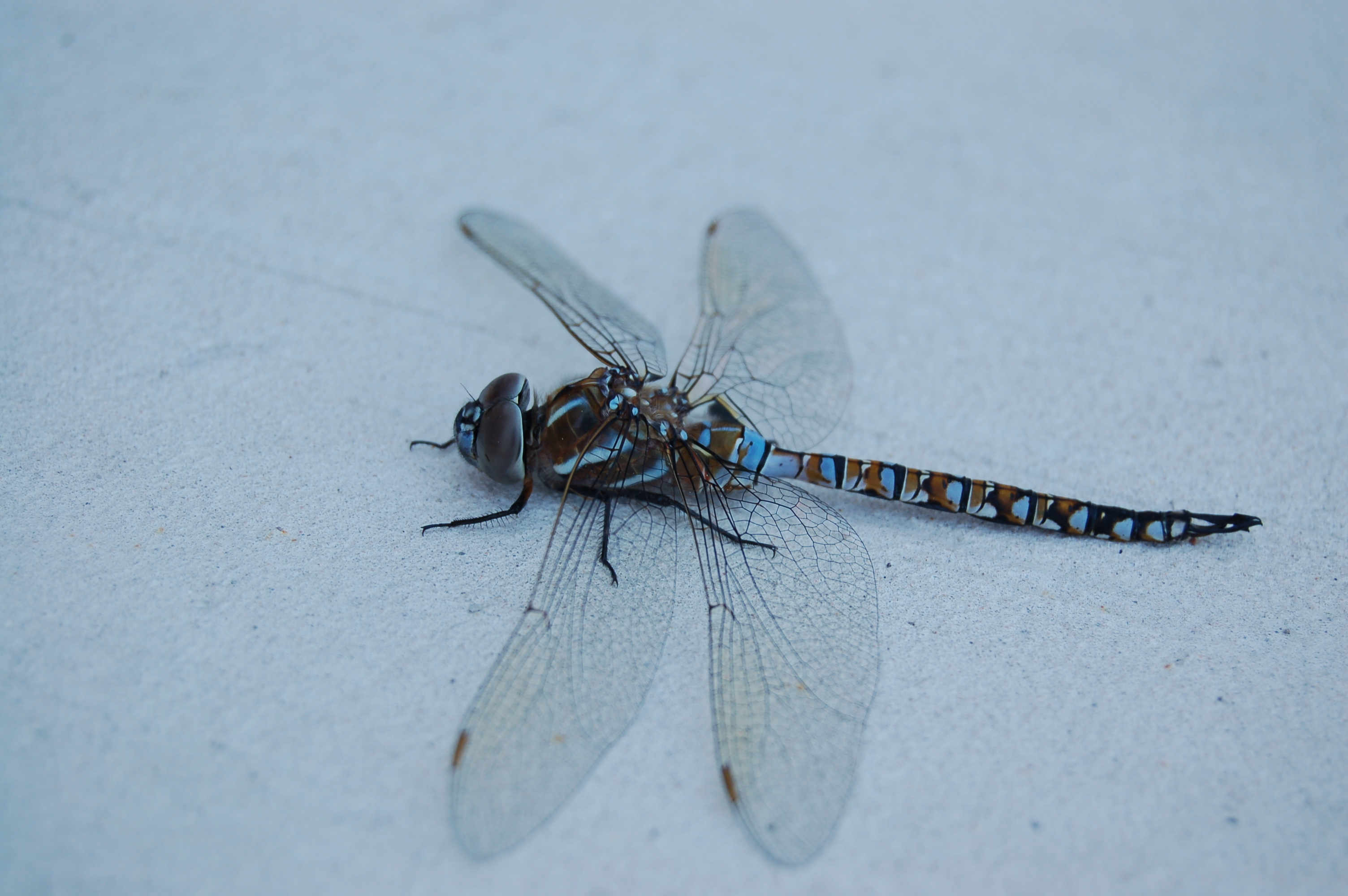 Image of Blue-eyed Darner