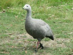 Image of Cape Barren Goose