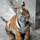Image of South China Tiger