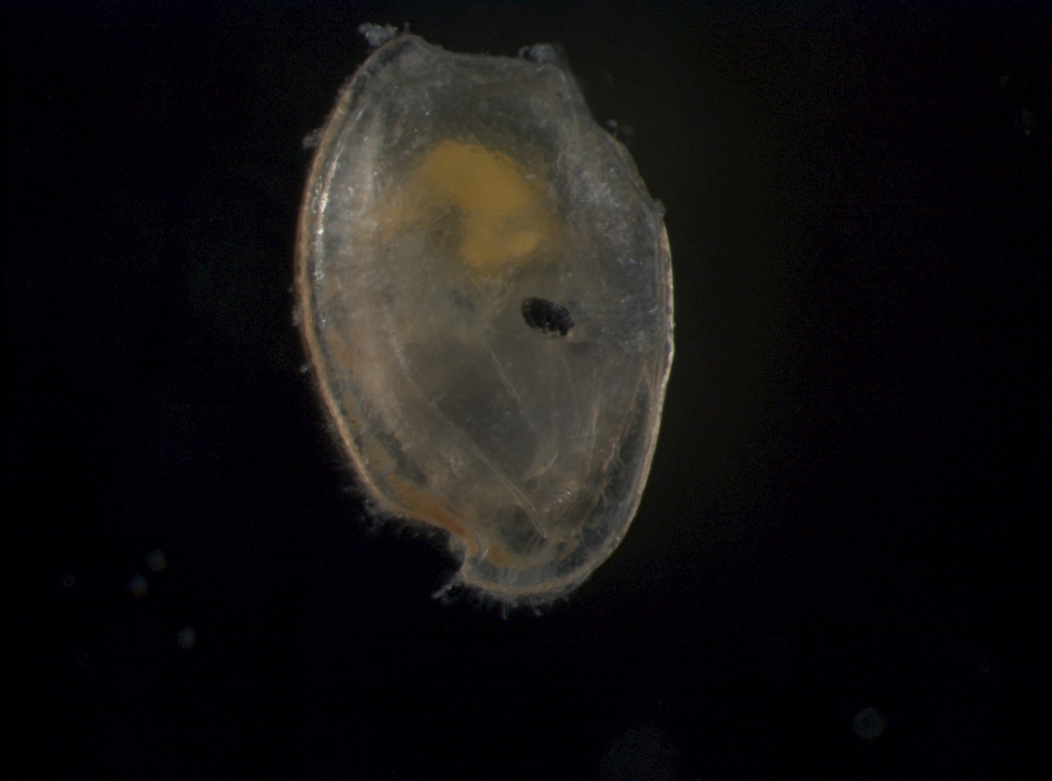 Image of <i>Rutiderma apex</i> Kornicker & Harrison-Nelson 1997