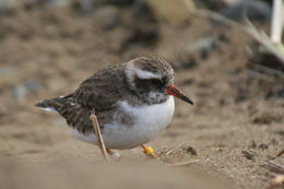 Image of Shore Dotterel