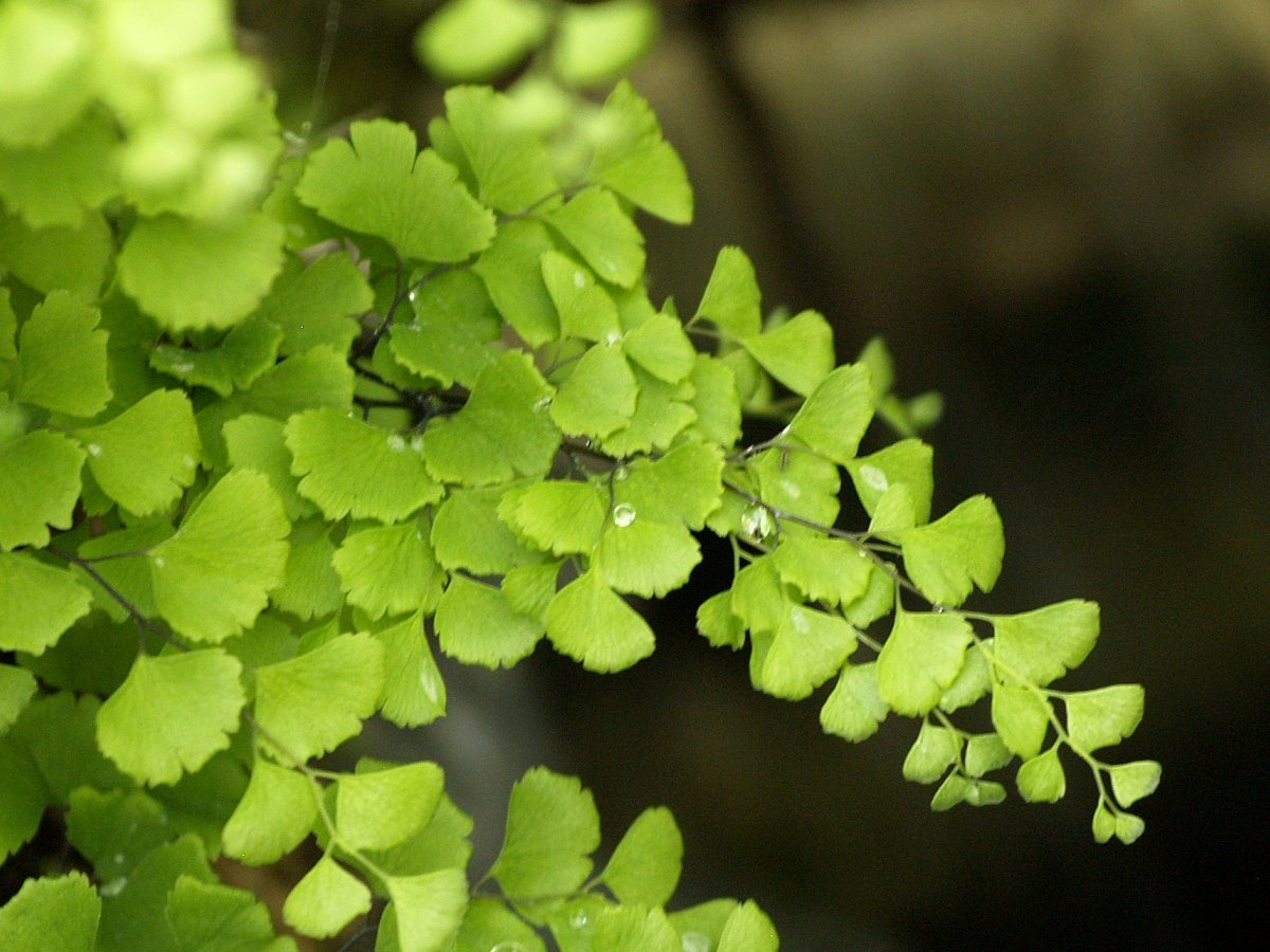 Image of Maidenhair Fern
