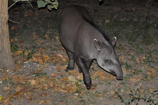 Image of Brazilian Tapir