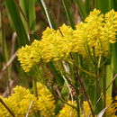 Image of tall pinebarren milkwort