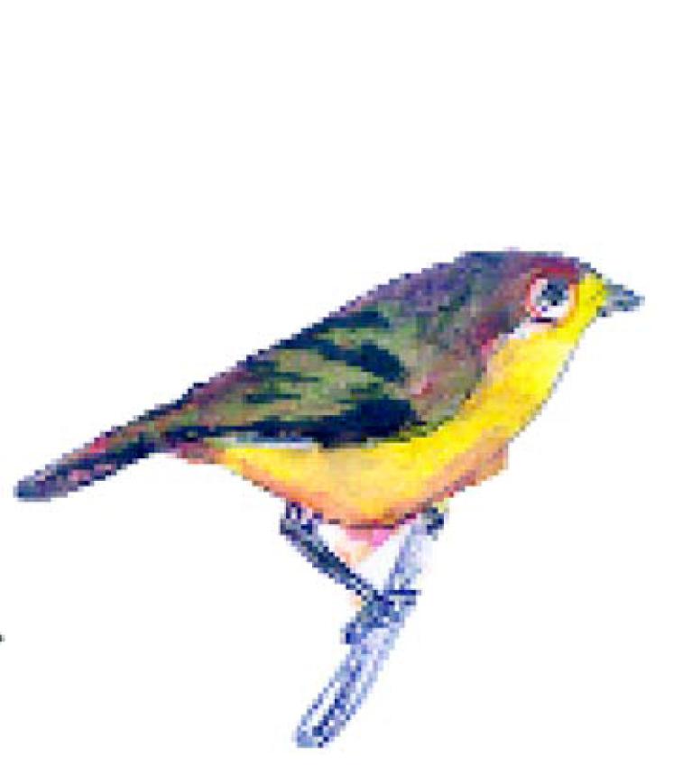 Image of African Yellow White-eye