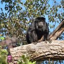 Image of Black Howler Monkey