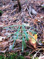 Image of Japanese Umbrella Pine
